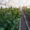 Corona invests  3.8bn in canadian cannabis firm